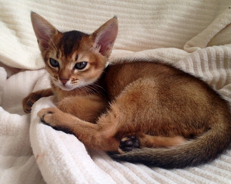 Abyssinian Cats and Kittens Usual Abyssinian Kittens