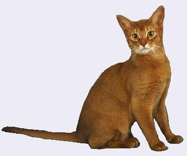 Abyssinian Cat Breeder Usual Abyssinian Kittens