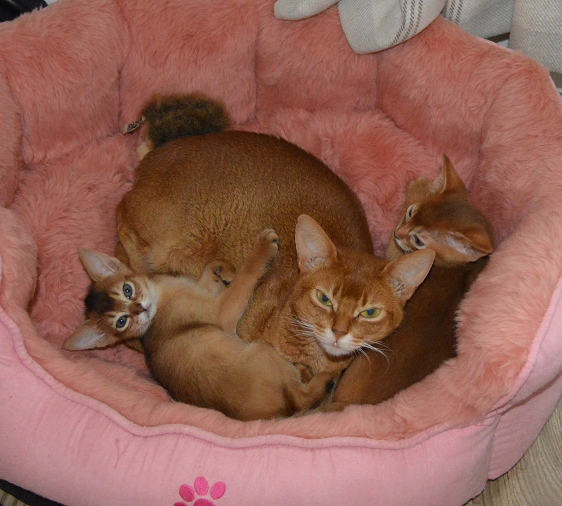 These kittens are now reserved.Next litter expected early December ... Usual Abyssinian Kittens